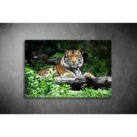 Tigris Vászonkép 083